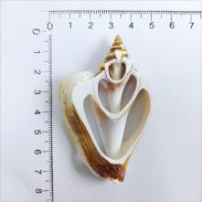 Strombus Aurısdıane Deniz Kabuğu