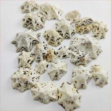 Star Lımpet Deniz Kabuğu