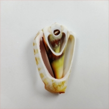 Kesik Luahnus Deniz Kabuğu