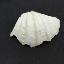 Beyaz Midye Kabuğu