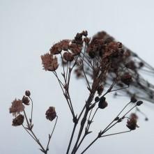 Kurutulmuş Çiçek Papatya