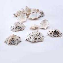 Deniz Kabuğu - Star Limpet - 500 gr